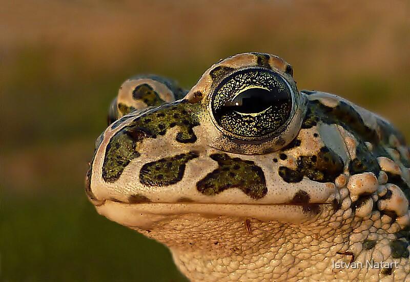The Beauty...European Green Toad ( Bufo viridis) by Istvan Natart
