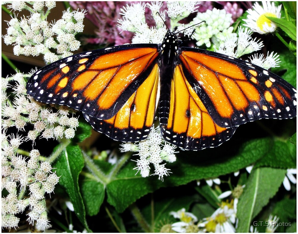 Monarch by G.T.S Photos