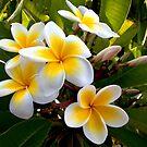 Frangipani Blossoms by Sandra Chung