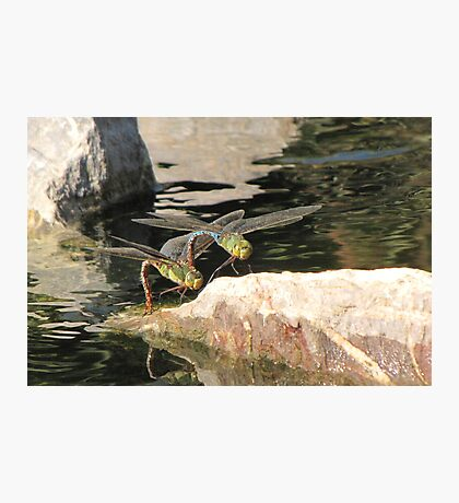 Dragonfly~ Common Green Darner (Copulating) Photographic Print