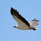 white bellied sea eagle by birdpics