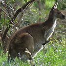 Western Grey Kangaroo - Cleland Conservation Park, South Australia by Dan Monceaux