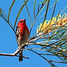 Scarlet Honeyeater. by trevorb