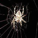 Hairy Spider hanging around by Paul  Donaldson