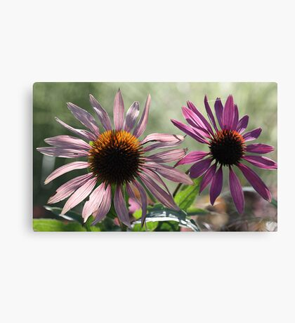 Echinacea (Coneflower) - Morning Sunlight Canvas Print