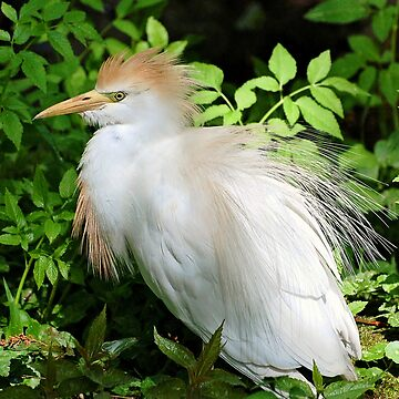 Cattle Egret With Breeding Colors by KBaccari
