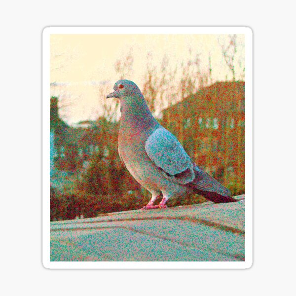Curious Pigeon In The Evening Sticker