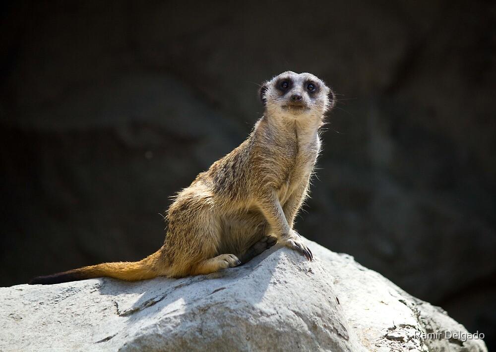 Posing Meerkat by Ramír Delgado