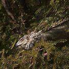Green Iguana by Richard G Witham
