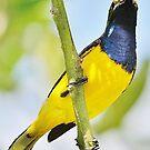 Honey eater bird by cathywillett