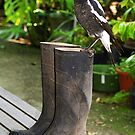 Magpie with big ideas - Gippsland by Bev Pascoe