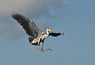 Heron by Macky