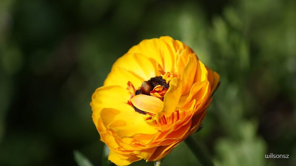 Golden Sunshine by wilsonsz