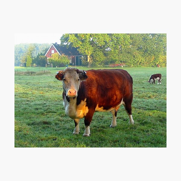 Good morning Cow Photographic Print