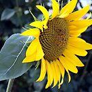 Sunflower by Judi FitzPatrick