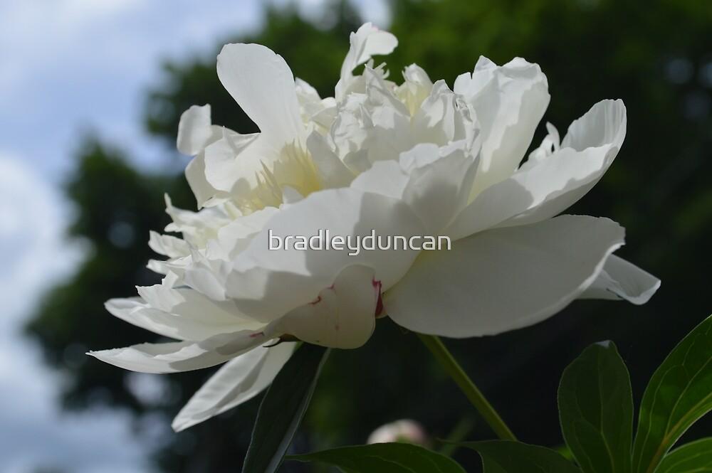 peony flower by bradleyduncan