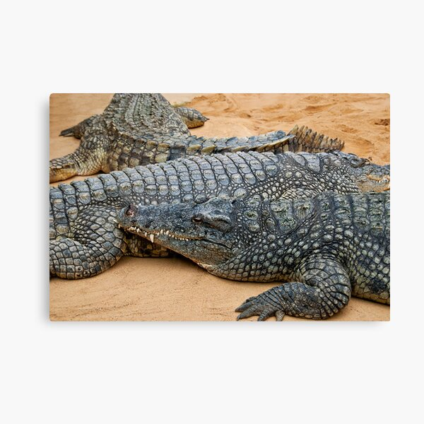 Crocodiles Canvas Print