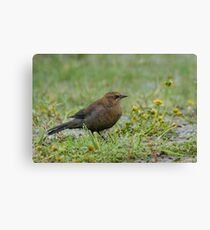Rusty Blackbird showing its true colours. Canvas Print