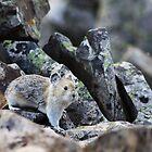 Rock Rabbit by Alyce Taylor