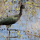 glossy ibis by birdpics