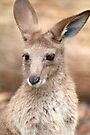 Eastern Grey Kangaroo by Renee Hubbard Fine Art Photography