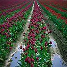 Tulips & Soil by Inge Johnsson