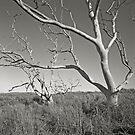 ghost trees by Tony Kearney