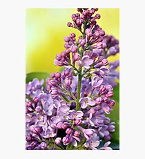 Oh the Aroma of Lilacs Photographic Print