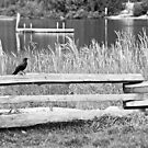 Crow on Fence by Tracy Riddell