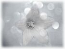Wintry Bellflower by Denise Abé