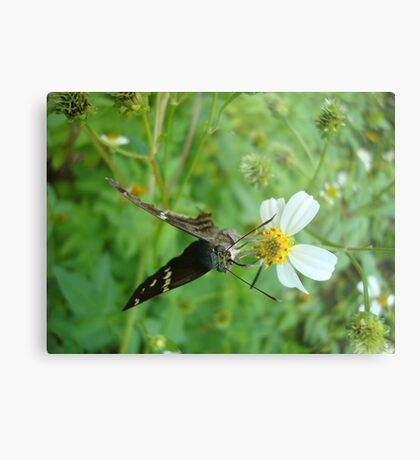 Long-tailed Blue Skipper on Spanish Needles Metal Print
