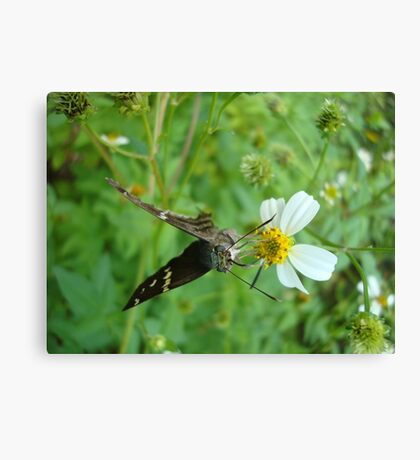 Long-tailed Blue Skipper on Spanish Needles Canvas Print