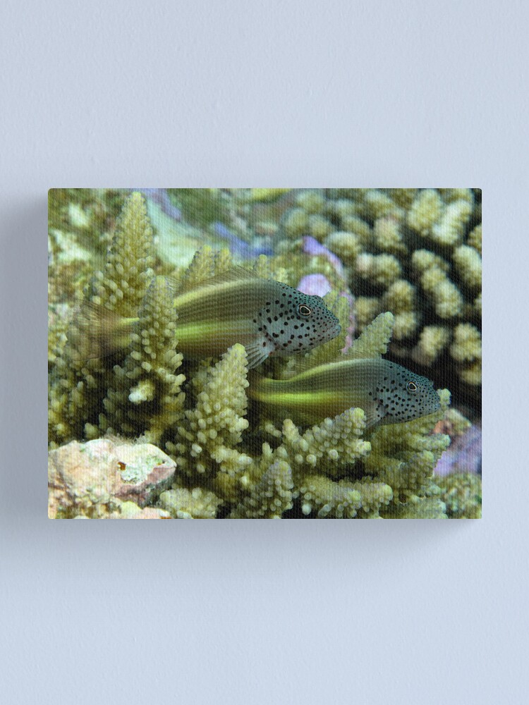 Alternate view of Hawkfish pair Canvas Print