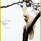 Sulphur Crested Cockatoo, Mission Beach, FNQ by Susan Kelly