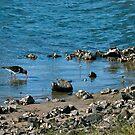Pied Oystercatchers (_Haematopus longirostris_) by Odille Esmonde-Morgan