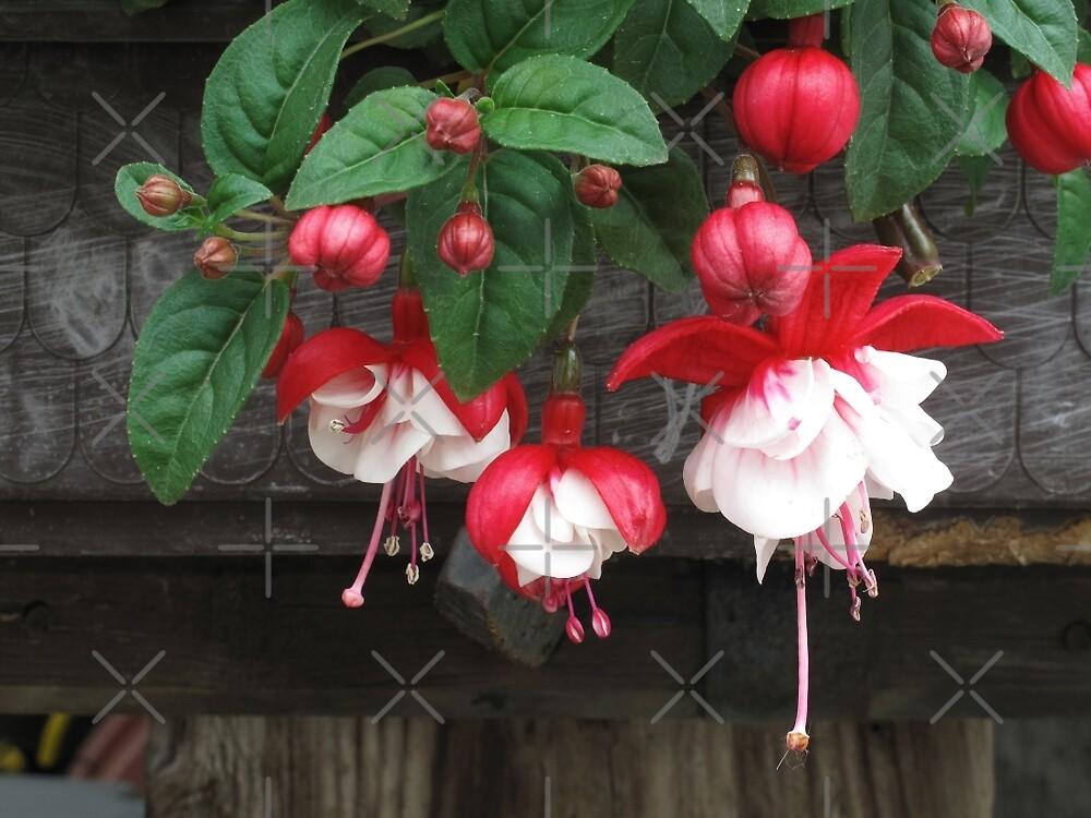 Red Fuchsia by Christine  Wilson