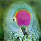 Rose Crowned Fruit Dove, Mission Beach FNQ. by Susan Kelly