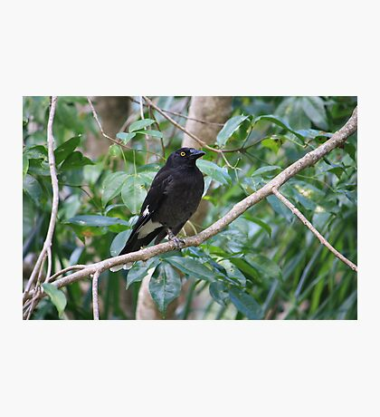 Pied Currawong Photographic Print