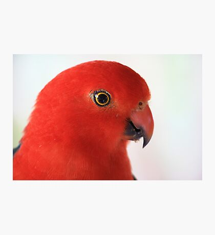 Australian King Parrot Up Close Photographic Print