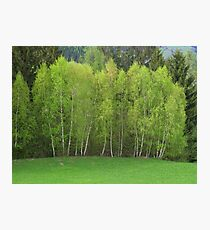 Spring Green - Birch Trees Photographic Print
