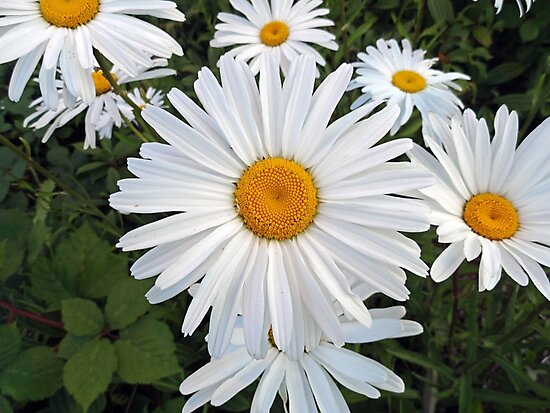 Olympia White Daisy  by Robert Meyers-Lussier