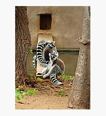 Ring-tailed Lemurs  Photographic Print