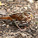 Fox Sparrow by Larry Trupp