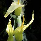Arum creticum by Dale Lockridge