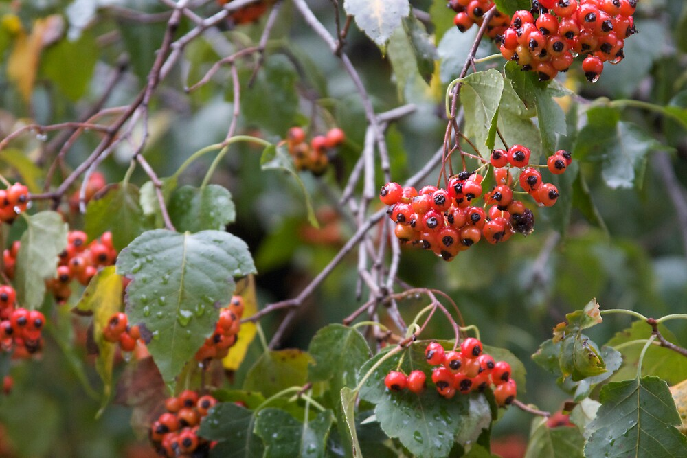 Broad Leaf Mountain Ash - Orange Berries by Sam Matzen