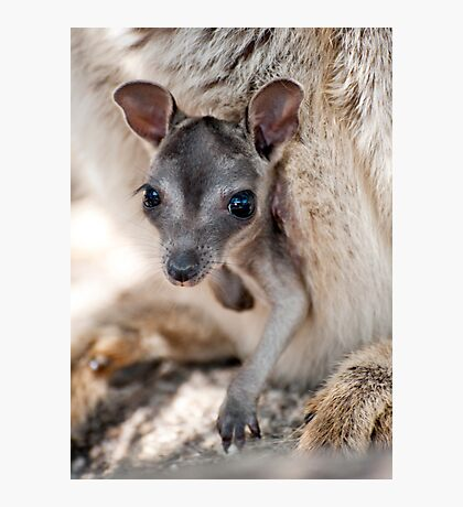 Hanging Out - Mareeba rock wallaby Photographic Print