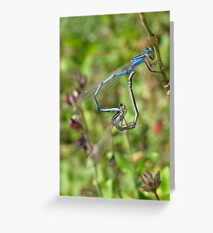 Damselfly ~ Familiar Bluet pair copulating Greeting Card