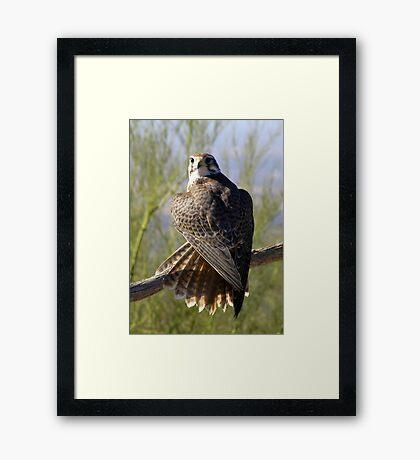Prairie Falcon ~ Some Privacy PLEASE! Framed Print