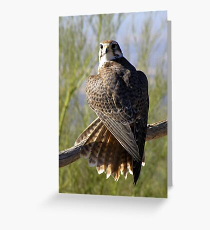 Prairie Falcon ~ Some Privacy PLEASE! Greeting Card