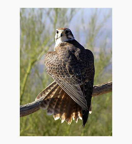 Prairie Falcon ~ Some Privacy PLEASE! Photographic Print